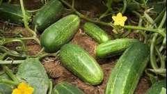 А вы знаете, как выращивать огурцы в открытом грунте?