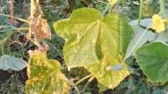 А вы знаете, почему желтеют листья огурцов?