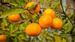 Абхазские мандарины: сезон сбора урожая. Абхазские мандарины: отзывы