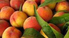Абрикос на урале: выращивание и уход