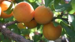 Абрикос – посадка и уход за плодовым деревом