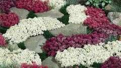 Алиссум многолетний: описание, выращивание, размножение
