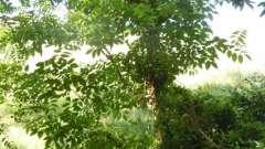 Амурский бархат. Лечебные свойства целебного дерева