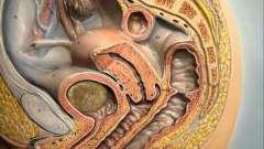 Анатомия женщины. Анатомия человека (биология, 8 класс)