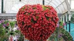 Антуриум - цветок любви