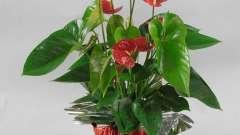 Антуриум красный: уход и выращивание