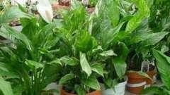 Антуриум: уход за растением