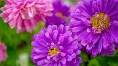 Астра. Посадка и уход за цветами в саду