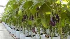 Баклажаны в теплице. Выращивание рассады