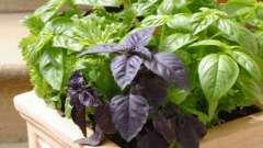 Базилик.выращивание из семян на подоннике в домашних условиях