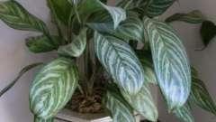 Березка - комнатное растение в вашем доме!