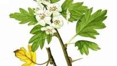Боярышник, ягоды: применение в народной медицине