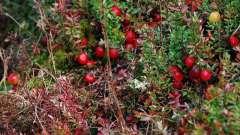 Болотная клюква: описание, где растет, когда собирают