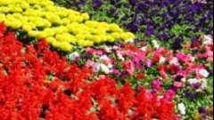 Бордюрные многолетние цветы - виды и краткая характеристика