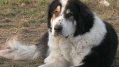Буковинская овчарка: описание, фото, характер