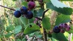 Целебная ирга-ягода. Полезные свойства и противопоказания
