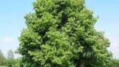 Целебное дерево липа: цветы и их полезные свойства