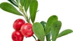Целебное растение - толокнянка. Полезные свойства и противопоказания
