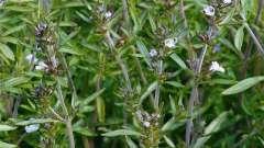 Чабер и чабрец - в чем разница? Декоративные и лекарственные растения