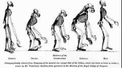 Человекообразные обезьяны и человек - сходство и различия. Виды и признаки современных человекообразных обезьян