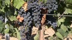 Чем подкармливать виноград, сроки проведения удобрения