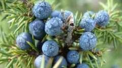 Чем полезны ягоды можжевельника? В чём заключается секрет их чудодейственной силы?
