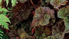 Цветок бегония - очаровательное украшение дома