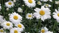 Цветок ромашка полевая: описание и полезные свойства