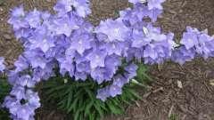 Цветы колокольчики – прелестнейшие растения российской флоры