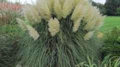 Декоративная трава для дачи