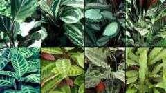Декоративнолистные комнатные растения: виды калатеи