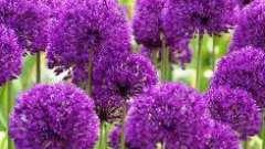 Декоративный лук - интересное растение для оформления садов, лужаек и газонов
