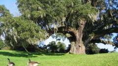 Деревья-долгожители россии и мира. Деревья-долгожители планеты
