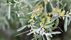 Дерево джида: что это? Описание, особенности выращивания и размножения