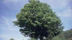 Дерево каштан – древний житель нашей планеты