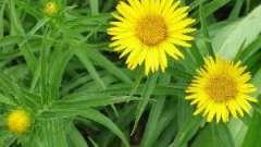 Девясил. Лечебные свойства и противопоказания полезного корня