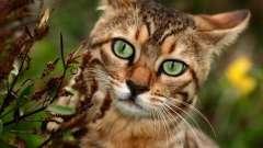 Домашняя леопардовая кошка – воплощение грации и утонченности