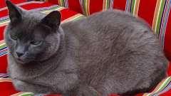 Домашняя порода кошек голубая русская