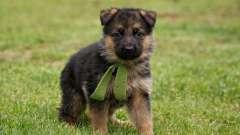Дрессировка щенка немецкой овчарки - важный этап ее социализации