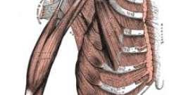 Двуглавая мышца плеча как один из основных элементов мышечной системы руки. Строение двуглавой мышцы