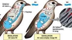 Дыхательная система птиц: функции, строение