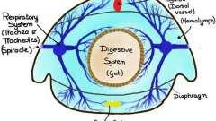 Дыхательная система у насекомых. Узнайте, как дышат насекомые