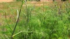 Фенхель обыкновенный: выращивание из семян
