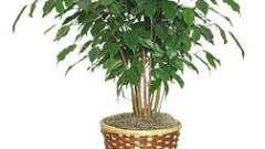 Фикус бенджамина: желтеют и опадают листья. Устранение причин заболеваний