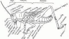 Где находится ухо у кузнечика, комара и бабочки?