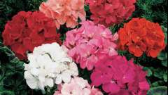 Герань: уход за цветущим чудом