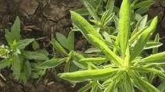 Гербициды для уничтожения сорняков: разновидности и способы действия