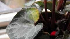 Гибель растения, или почему у цикламена желтеют листья?