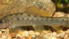 Голец - рыба наших водоемов