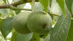 Грецкий орех - дерево жизни